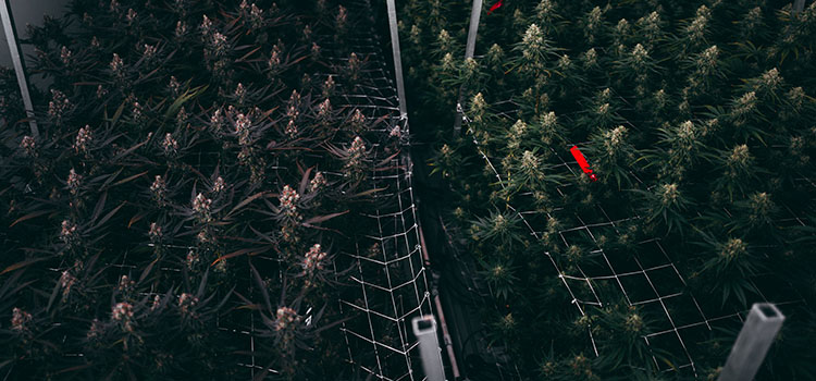 Why Forming an LLC to Operate Your Cannabis Business May Not Be Tax Wise